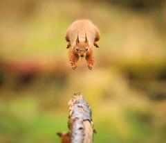 Eyes on the Prize (markrellison) Tags: wild england animal jumping squirrel native unitedkingdom wildlife yorkshire 300mm northyorkshire lightroom redsquirrel f40 sciurusvulgaris lr4 11600sec iso2500 ef300mmf28lisusm canoneos5dmarkiii lightroom4