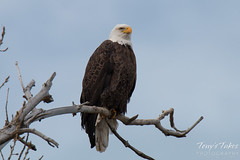 Regal Bald Eagle in Longmont