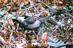 Lyrebird at Katoomba Falls (nathanb.andrews) Tags: film birds 35mm nikon australia bluemountains f80 fujisuperia katoombafalls nikon50mmafs18g