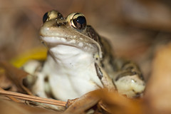 Southern Leopard Frog (Evan Barrientos Photography) Tags: nature animals night unitedstates time florida places northamerica amphibians anura ranidae southernleopardfrog highlandscounty otherkeywords archboldbiologicalstation