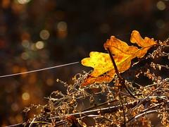 Autumn light (joeke pieters) Tags: november autumn fern fall leaf bokeh herfst blad cobweb varen spidersilk spinrag panasonicdmcfz150 1190231