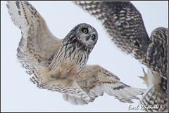 back off dude (Earl Reinink) Tags: winter bird nikon raptor owl earl birdphotography shortearedowl earlreinink reinink aaiaidtdoa