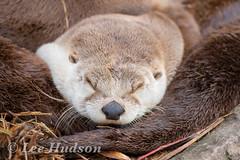 Otter (Lee Hudson photography) Tags: otter otterfamily sleepyotter sleepingotter leehudson uneloutrequidort