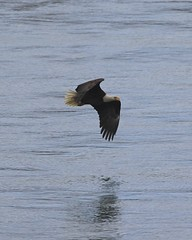 bald eagle (mirrorlessplanet.com) Tags: usa bird nature eagle wildlife baldeagle maryland haliaeetusleucocephalus accipitridae conowingodam mirrorlessplanetcom