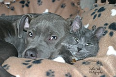 They love eachother (Fallen Oak Photography) Tags: blue dog love animals cat puppy nose photography oak kitten gray adorable kitty fluffy pitbull fallen kc bluenose capone aniamls fallenoak fallenoakphotography