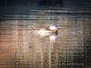 GilbertRP-Jan2015-1-44 (birdistheword1980) Tags: arizona bird duck nikon birding gilbert migration ponds birdwatching lightroom ruddy ruddyduck nikoncoolpix dabblingduck herping gilbertwaterranch birdnerd riparianpreserve wintermigration riparianpreserveatwaterranch lightroom5 adecadebetween