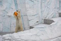 (Copanda_) Tags: snow polarbear  dea  uenozoo