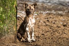 2015-01-24-13h40m15.BL7R1199 (A.J. Haverkamp) Tags: amsterdam zoo thenetherlands artis dierentuin africanhuntingdog afrikaansewildehond canonef70200mmf28lisusmlens httpwwwartisnl pobamsterdamthenetherlands dob07112014