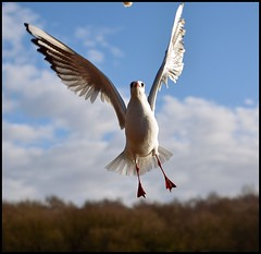 In flight (Andrew Barke-Photography) Tags: pictures birthday sea wild seagulls white black bird water birds flying photos seagull gull gulls flight lakes images gul seabird birdinflight alza67