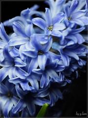 1502.23230829.E-M5MarkII (g.l@m) Tags: olympus hyacinthus orientalis  em5ii