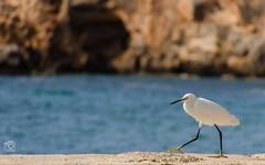 Great White Heron (jennifer.stahn) Tags: white fish bird beach heron silver meer jennifer great pi mallorca egret cala vogel bucht reiher fischreiher silberreiher stahn