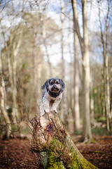 9/52 - King of These Woods. (Kirstyxo) Tags: dog cute woods woodlands teddy sweet stump 952 2015 52weeksfordogs