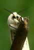 Spilosoma lubricipeda (henk.wallays) Tags: macro nature closeup insect europa belgium wildlife natuur location lepidoptera westvlaanderen arctiidae date falter insekt arthropoda insecte aaaa 2007 schmetterlinge vlinders vlaanderen insecta nachtvlinder papillondenuit bellem spilosoma lepidoptere wittetijger spilosomalubricipeda macromoths 200703 beervlinders beervlinder henkwallays tuinbellem матылі skubvlerkiges лускакрылыя тәңкәҡанатлылар күбәләктәр