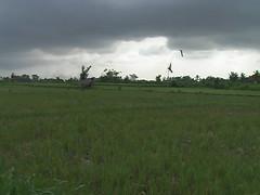 Rice Paddies Outside Ubud