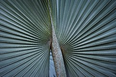 Symmetry (Violet aka vbd) Tags: pentax k3 vbd smcpentaxda55300mmf458ed fl florida palmtree leaf fortlauderdale botanical 2015 winter2015 palmleaf abstract leaves foliage