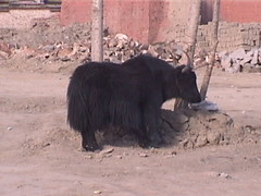 A Tibetan Yak