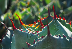 Spiky trap_c (gnarlydog) Tags: plant abstract green closeup spiky leaf colorful bokeh outdoor australia foliage manualfocus shallowdepthoffield adaptedlens cmountlens cosmicar50mmf14