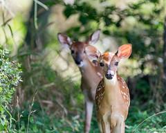 Polka & Dot (NBTXN) Tags: animal texas deer polkadots spots fawn freckles cuteness whitetail whitetaildeer babydeer selmaparkestates