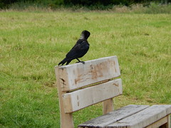 Carrion crow, 2016 Jul 12 -- photo 2 (Dunnock_D) Tags: uk unitedkingdom britain chester meadows bird crow carrioncrow perched perching bench friendsofthemeadows fom green grass preen preening gb england