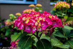 Hydrangeas in pink-red (Bernsteindrache7) Tags: pink flower garden landscape flora blossom outdoor sony bloom blume