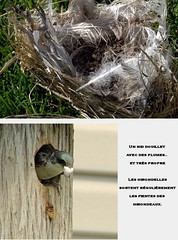 Le nid  l'intrieur du nichoir. / The nest that was in the bird house. (Pentax_clic) Tags: img1054 canon g12 hirondelle swallow vaudreuil quebec robert warren nid juillet 2016 faune nest