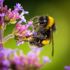 Lets get some candy :) (Fred van Os) Tags: 600mm bijen close bloem closeup bee nature flowersplants summer