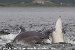 BND Bottlenose dolphin (Tursiops truncatus) 24 Jul-16-42928 (tim stenton www.TimtheWhale.com) Tags: bnd blackisle bottlenosedolphin cetacean chanonrypoint commonbottlenosedolphin delphinidae dolphin fortrose highland mammal morayfirth notcaptive odontocetes rosemarkie scotland tursiopstruncatus uk wild