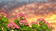 Hydrangea (STEHOUWER AND RECIO) Tags: pink flowers sunset green netherlands floral dutch leaves garden leaf flora flash hydrangea  bulaklak hortensia  haydrangeya