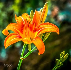 Tiger lily DSC_0309 (Nicole Nicky) Tags: plant flower fleur tigerlily lis yellow bright outdoor dehors depthoffield nature summer t