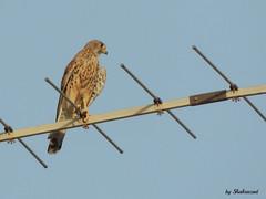 Urban hero (Shahrazad26) Tags: torenvalk kestrel crecerelle turmvalke bird vogel oiseau roofvogel raubvogel oiseaudeproie birdofpray marokko maroc morocco fs fez hayouedfs