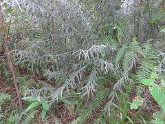 Oxylobium robustum 1 (barryaceae) Tags: park new wales bay south australia national crowdy