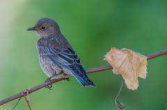 Western Bluebird (Immature) (Gilbert Tayag) Tags: bird bluebird wildlife nature d7000 tamron150600mm nikond7000