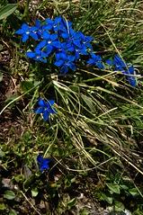 Enzian (Elliott Bignell) Tags: flowers blue mountain mountains alps flower berg schweiz switzerland suisse blossom meadow wiese ostschweiz blumen berge alpine blooms alpen blau svizzera blume rheintal blte alp mels gentian blten wanderung enzian rhinevalley blhen gams sargans pizol blht 5lakes 5seen
