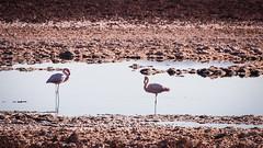 Chilean Flamingos (ckocur) Tags: chile atacama sanpedrodeatacama northernchile atacamadesert