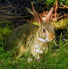 Little cotton tail rabbit (AngelVibePhotography) Tags: macro cute rabbit bunny nature animal closeup nikon outdoor northcarolina cottontail nikonp900