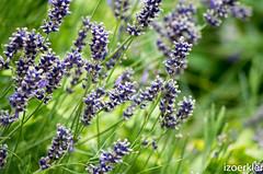Lavender (izoerkler) Tags: macro berlin germany deutschland pentax bokeh outdoor capital natur lavender sigma bumblebee makro 1770 friedrichshain ricoh draussen hummel violett lavendel k50