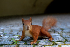 Who are you? (Banuta KT) Tags: park red summer plant beautiful squirrel arch you who bricks poland warsaw shocked