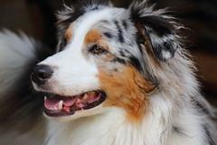 Charly (alice_winkler) Tags: dog australianshepherd hund haustier