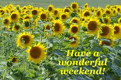 Have a wonderful weekend! (FagerstromFotos) Tags: sunflowers girasoles flowers nature greeting message biltmoreestate ashevillenc field yellow green panasoniclumixdmcfz200