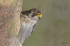 PEREGRINE / DOVER / KENT / U.K (Tom Webzell) Tags: naturethroughthelens