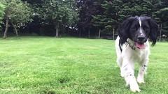 Madison paying fetch (jwhiteireland) Tags: flickr video madison fetch puppy spaniel