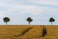 _DMC3893 (duncen.mcleod) Tags: 1424f28 2470f28 70200f28 d4 duitsland f100 hameln molen rattevanger vakwerkhuizen landscape combeineren hannmnden landschaft grain tree korn baum hanmnden deutschland germany