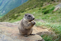 Guten Appetit! (welenna) Tags: alpen alps animals switzerland summer saasfee stone kids tier murmeltier marmot essen wallis spielboden
