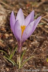 Crocus sp. (Lus Gaifm) Tags: crocussp iridaceae lusgaifm macro natureza nature planta plantae flor flower brandadeportos pnpg pnpenedagers