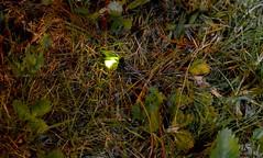 Glow Worm (6) (John Carson Essex) Tags: thegalaxy thegalaxystars rainbowofnature supersix