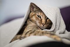 snugly (apg_lucky13) Tags: 6d canon ef jdc jasdaco eos ff manwithcamera ca usa roxy feline cat snuggle snuggles snugglycat blanket warmth cute kitty portrait tabby ornage whiskers fur cozy snuggleup catseyes 85lmkii 85l l orangetabby housecat indoors lazy sleepy