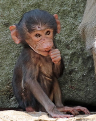 hamadryas macaque Berlin Zoo JN6A2976 (j.a.kok) Tags: berlijn berlin tierpark mantelbaviaan baviaan baboon hamadryasbaboon