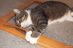 Bastian's feather, 2 - for Happy Caturday (Finn Frode (DK)) Tags: cats play pheasant feather bastian mixedbreed domesticshorthair olympus omdem5 denmark animal pet cat indoor happycaturday