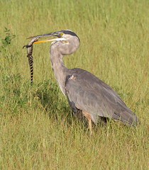 not at the top of the food chain yet (William Miller 21) Tags: greatblueheron alligator juvenile predator behavioral feeding bird nature wildlife florida sweetwaterwetlands canon 7d 100400