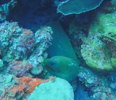 Green Moray (2) (Neil DeMaster) Tags: eel moray greenmoray fish sealife oceanlife marinelife nature wildlife bonaire bonairewildlife conservation scuba diving